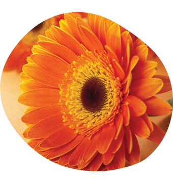 Celebrate Lives Lived orange Gerbera flower